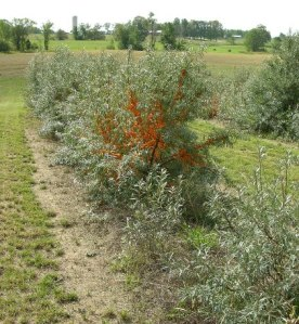 Introduction to sea buckthorn onspecialtycrops - Growing sea buckthorn ...