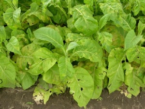 Tobacco field infected with blue mold.