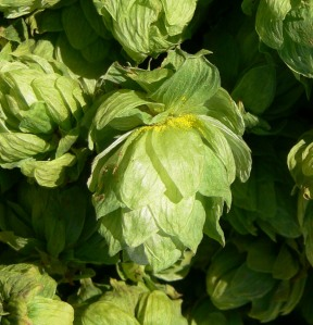 Ontario hop cone with lupulin exposed