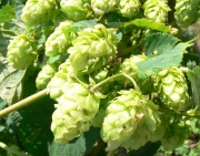 Willamette hops from the week of August 5, 2013 - Norfolk County