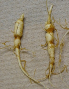 Ginseng Fumigation Figure 1