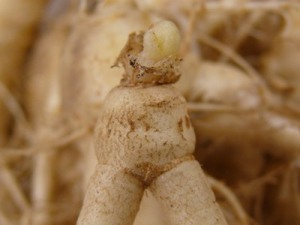 Ginseng Fumigation Figure 2