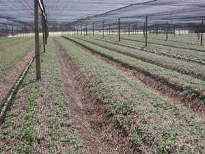 Healthy ginseng seedling garden