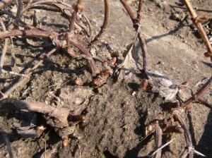 Sprouting 'Hallertauer' hops