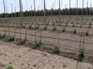 University of Guelph research hop yard with stringing completed and hops trained, Spring 2014.