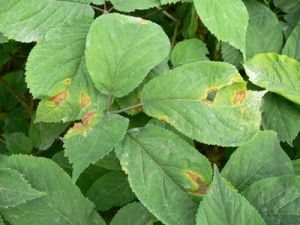 Figure 1. Alternaria lesions on leaves.