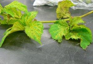 Close up of leaf mottling. Note the sporulation on the underside of the upper leaf.