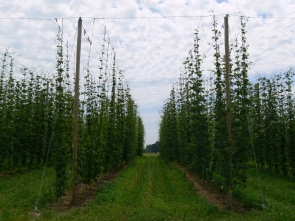 Figure 2: Vegetative growth in the Uni. of Guelph research hop yard in Simcoe during the 2014 growing season (photo taken June 23, 2014).