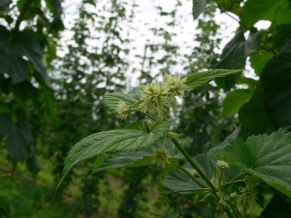 Figure 1: Burr formation on Hallertauer hops in the Uni. of Guelph Simcoe research hop yard (June 23, 2014).