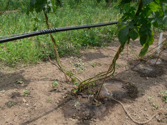 Figure 2: Drip irrigation is a common method used for irrigating hop yards.