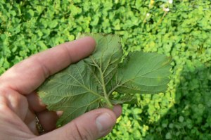 Sporulation associated with chlorotic tissue on underside of mottled leaf.