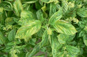Angular yellow chlorosis on upper surface of basil leaves caused by downy mildew