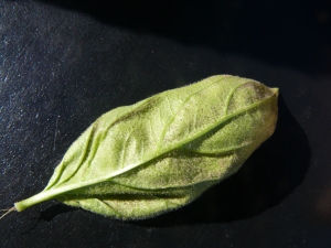 Purplish-grey sporulation by basil downy mildew pathogen on underside of leaf