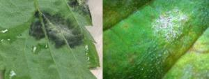 """Downy mildew (left) versus powdery mildew (right) spores.  Powdery mildew spores are white instead of dark, may appear more """"powder-like"""" and can be found on both the upper and lower leaf surface."""