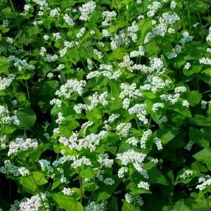 Flowering Crambe