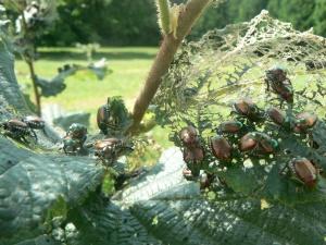 HM Japanese Beetles Fig1