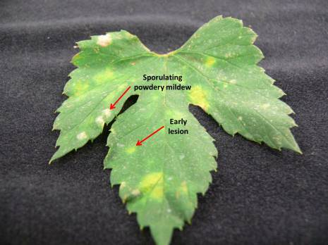 Powdery mildew leaf