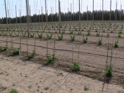 Hop plants trained for the season