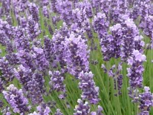 June 21 lavender peak bloom