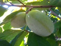 Pawpaw fruit on tree