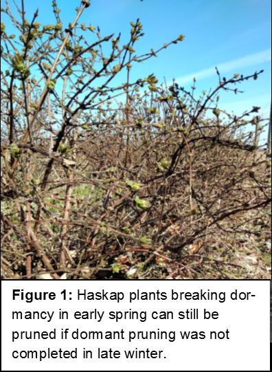 Haskap Pruning In Ontario Onspecialtycrops
