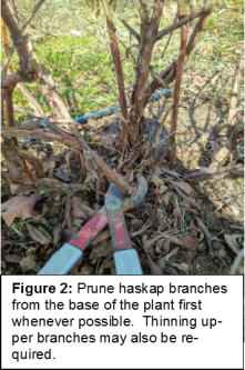 Pruning haskaps picture 2