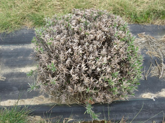 Lavandula angustifolia plant on black plastic mulch with green growth around the perimeter and grey and brown shoots in the centre of the plant