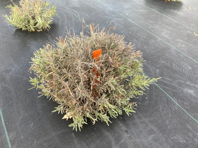 Lavender plant with many branches in the centre of the plant brown