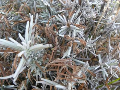 Lavender plant showing brown, dead new shoots