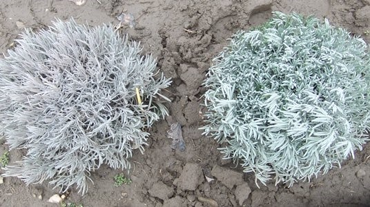 Two lavender plants with a grey plant left next to a green plant right