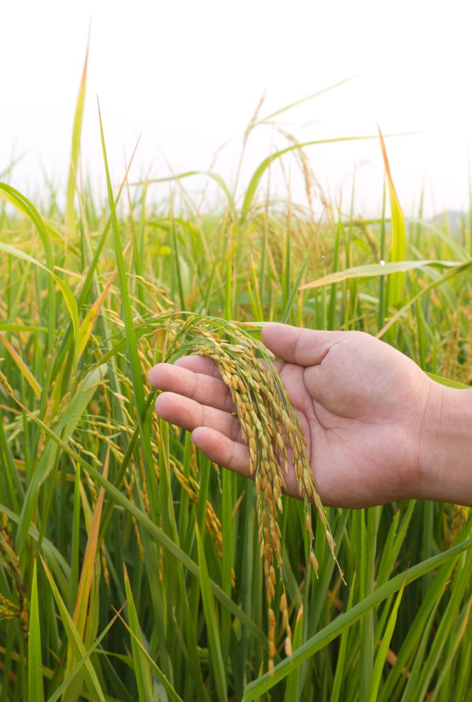 Maturing rice in lowland production system (Photo credit: luckypic, www.shutterstock.com)