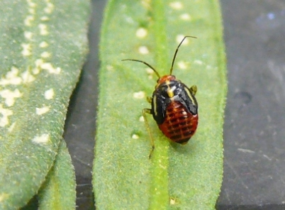 Pale red four-lined plant bug nymph with black wing pads crawling on leaf