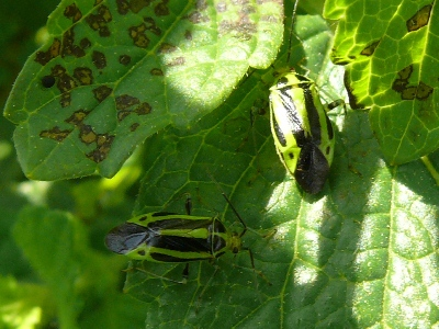Adult four-lined plant bugs with yellowish green stripes on back crawling on leaf that has brown spotting