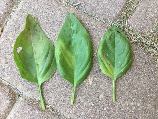 Three basil leaves laid out showing yellowing of sections of each leaf